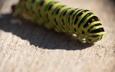 Swallowtail caterpillar wallpaper