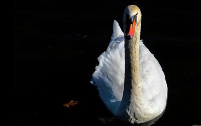 Swan [2] wallpaper