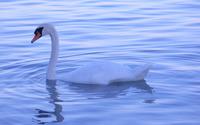 Swan wallpaper 1920x1200 jpg