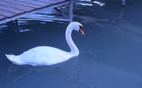 Swan [4] wallpaper 1920x1200 jpg