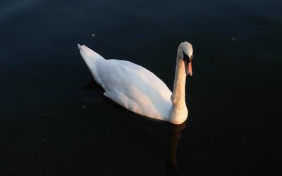 Swan [3] wallpaper