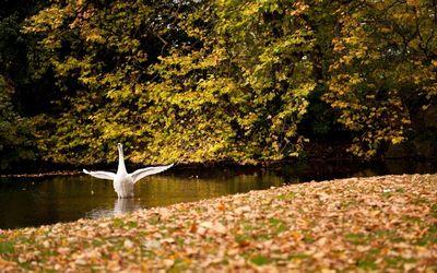 Swan [6] wallpaper