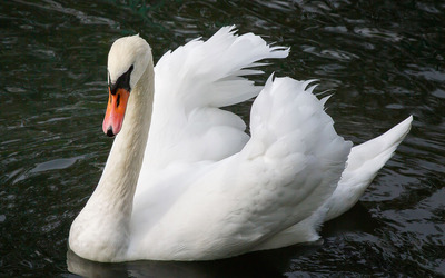 Swan [5] Wallpaper