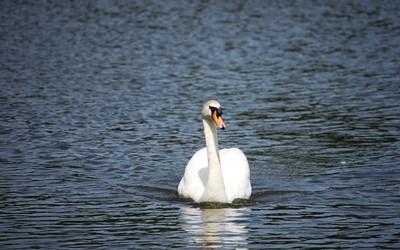 Swan [9] Wallpaper