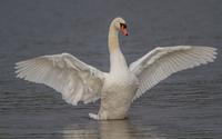 Swan [7] wallpaper 1920x1200 jpg