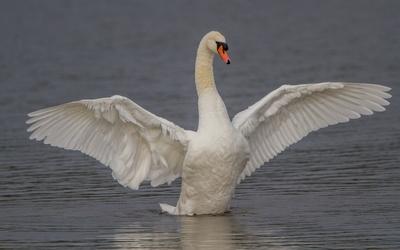 Swan [7] Wallpaper