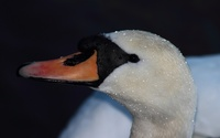 Swan close-up [3] wallpaper 2560x1600 jpg
