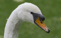 Swan close-up [2] wallpaper 1920x1200 jpg