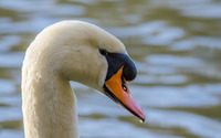 Swan close-up wallpaper 1920x1200 jpg