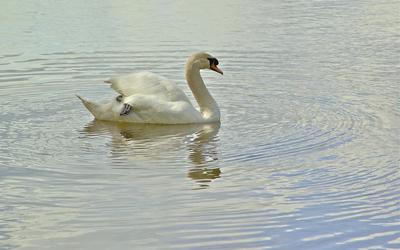 Swan on the lake [3] wallpaper