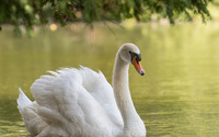 Swan on the lake wallpaper 1920x1200 jpg