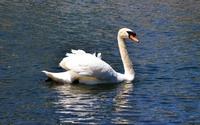 Swan on the lake [2] wallpaper 1920x1200 jpg