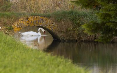 Swan on the lake near a small bridge Wallpaper