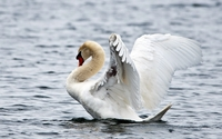 Swan ready to fly wallpaper 1920x1200 jpg