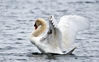 Swan ready to fly wallpaper 1920x1200 jpg