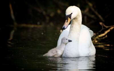 Swan with cygnet wallpaper