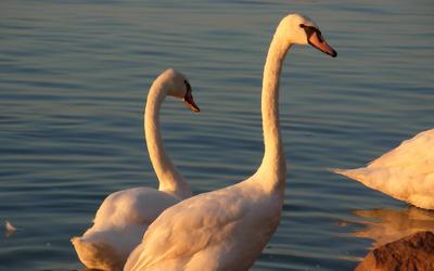 Swans [3] wallpaper