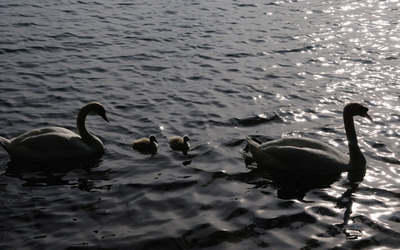 Swans [6] wallpaper