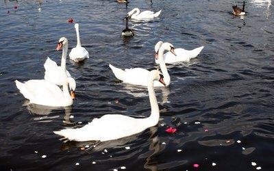 Swans [4] wallpaper