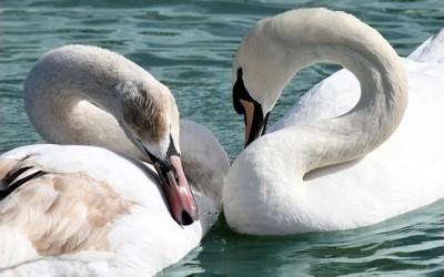 Swans [2] wallpaper