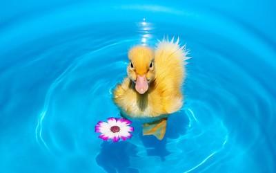 Swimming duckling wallpaper