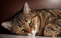 Tabby cat wallpaper 1920x1200 jpg