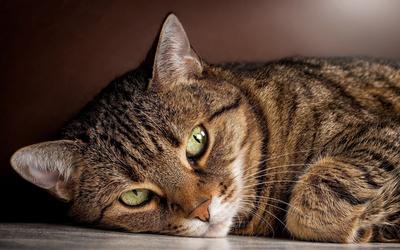 Tabby cat wallpaper