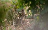 Tabby cat hiding behind a bush wallpaper 1920x1200 jpg
