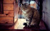 Tabby cat looking down wallpaper 1920x1200 jpg