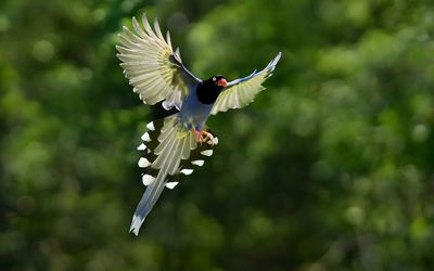 Taiwan blue magpie in flight wallpaper