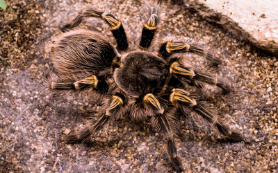 Tarantula wallpaper