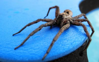 Tarantula on the table Wallpaper