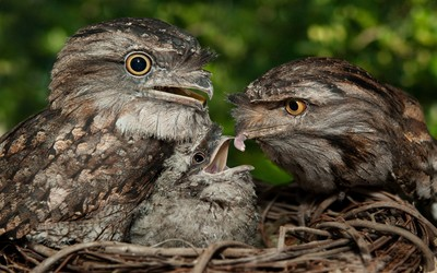 Tawny frogmouth wallpaper