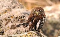 Tawny owl wallpaper 1920x1200 jpg
