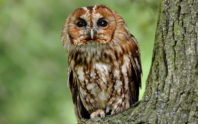 Tawny owl in a tree wallpaper
