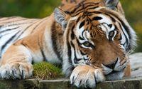 Tiger [20] wallpaper 2560x1600 jpg