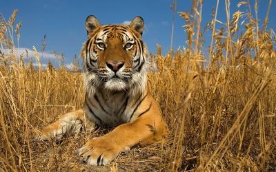 Tiger [17] Wallpaper