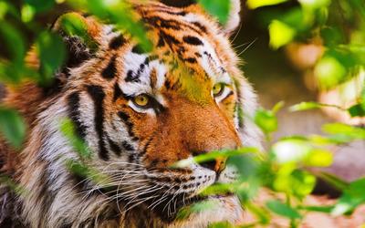 Tiger [22] wallpaper