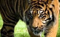 Tiger [24] wallpaper 2560x1600 jpg
