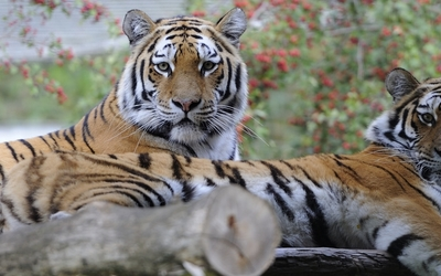 Tiger [30] wallpaper