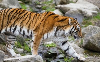 Tiger [27] wallpaper