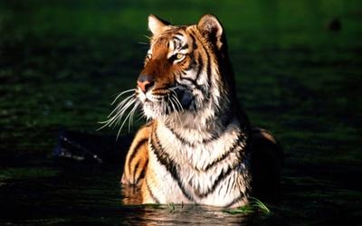 Tiger [7] wallpaper