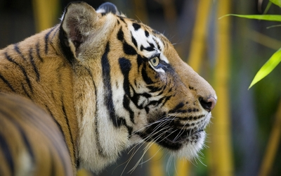 Tiger [13] wallpaper