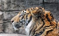 Tiger close-up wallpaper 1920x1200 jpg