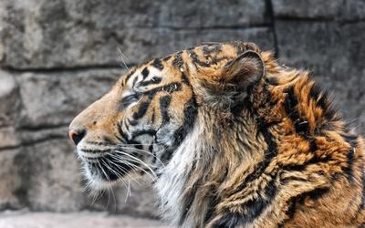 Tiger close-up wallpaper