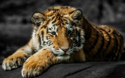Tiger cub resting on a rock Wallpaper