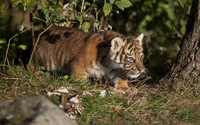 Tiger cub under a tree wallpaper 3840x2160 jpg