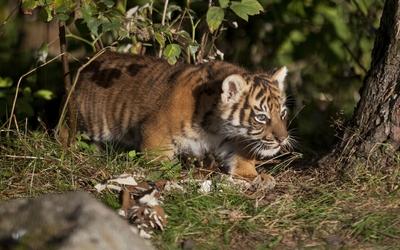 Tiger cub under a tree Wallpaper
