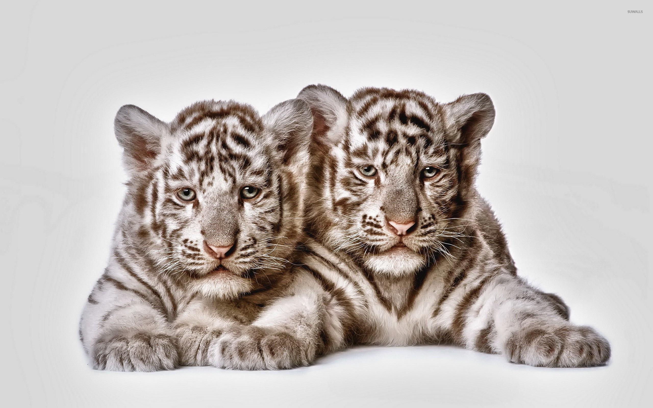 tiger cubs wallpaper - animal wallpapers - #17832