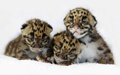 Tiger cubs [2] wallpaper